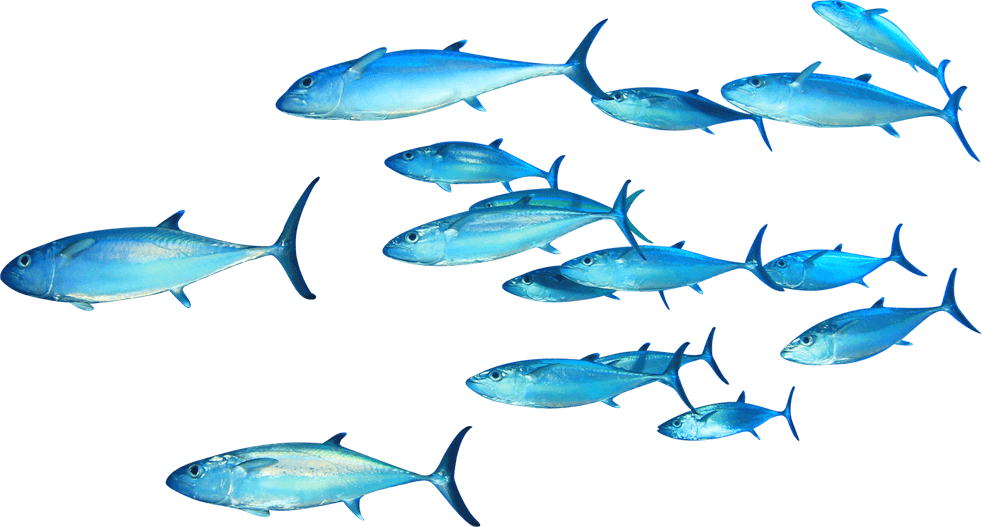 Group of fish clipart png image library stock Thunnus Fish Clip art - swimming fish 982*527 transprent Png Free ... image library stock