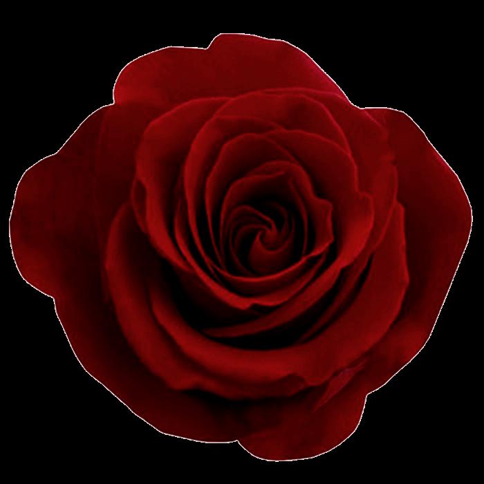 Free flower image download vector Red rose png, free download | Güller | Pinterest | Junk journal ... vector