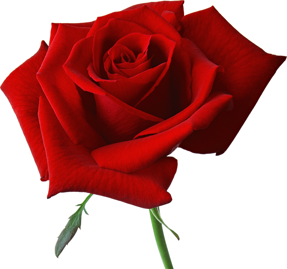 Free flower image download clip art royalty free Rose PNG flower images, free download clip art royalty free