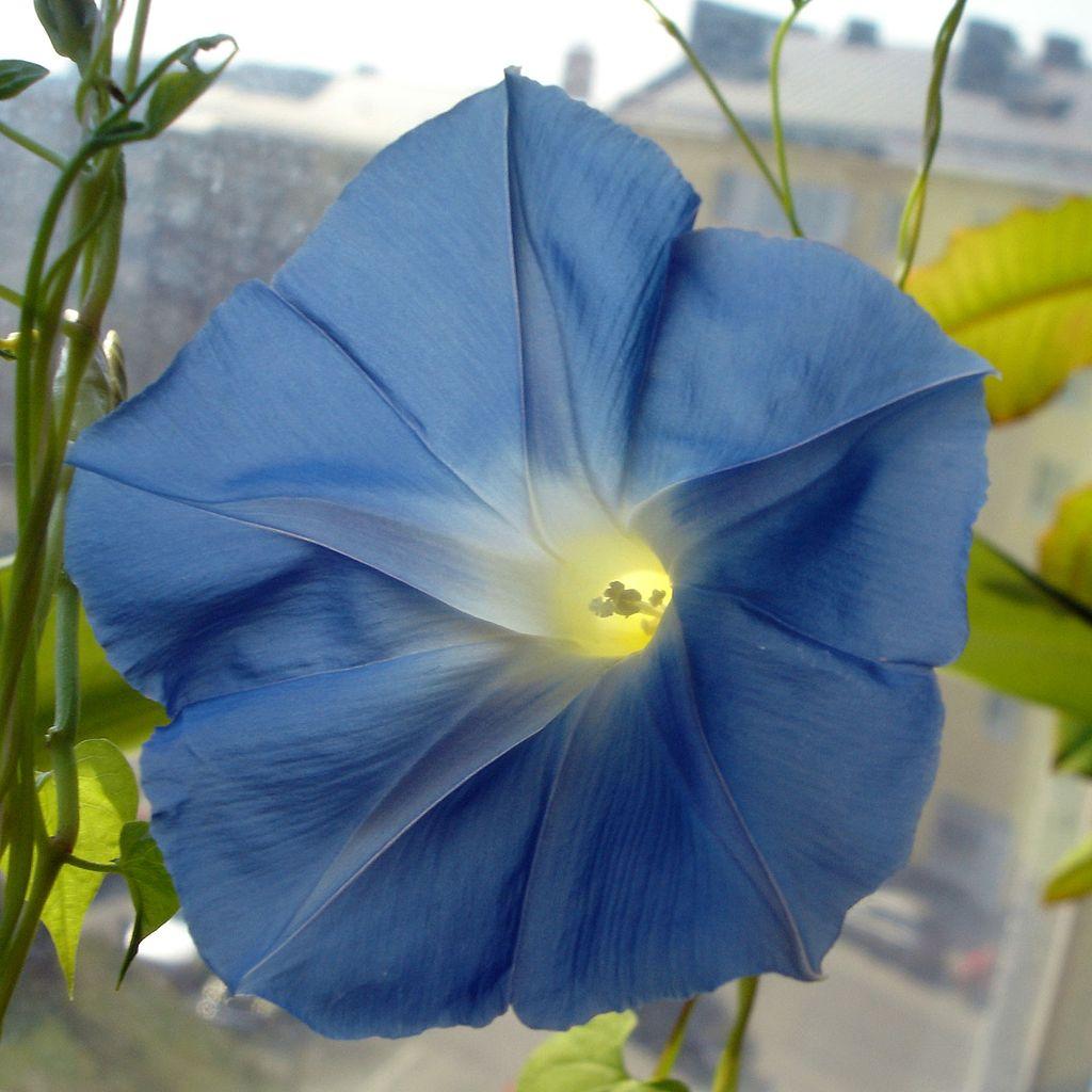 Free flower jpg image free stock File:Morning Glory Flower square.jpg - Wikipedia image free stock
