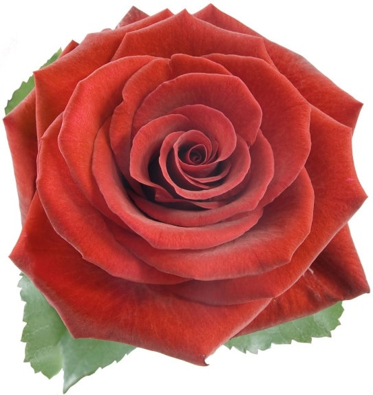 Free flower jpg svg Love red rose flower pictures free stock photos download (17,411 ... svg