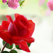 Free flower prints to download picture royalty free stock Rose Flower Images Free Download Hd | Full Screensaver and ... picture royalty free stock