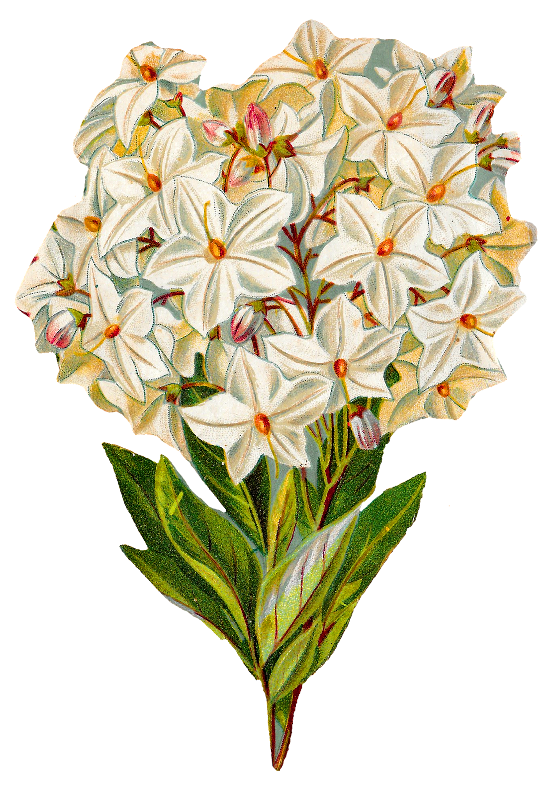 Free flower prints to download royalty free download Antique Images: Free Hydrangea Flower Botanical Artwork Image ... royalty free download