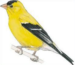 Free flying goldfinch bird clipart image freeuse download Free American Goldfinch Cliparts, Download Free Clip Art, Free Clip ... image freeuse download