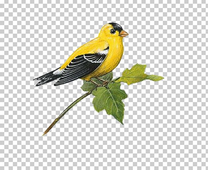 Free flying goldfinch bird clipart jpg stock Bird Wall Decal European Goldfinch American Goldfinch PNG, Clipart ... jpg stock