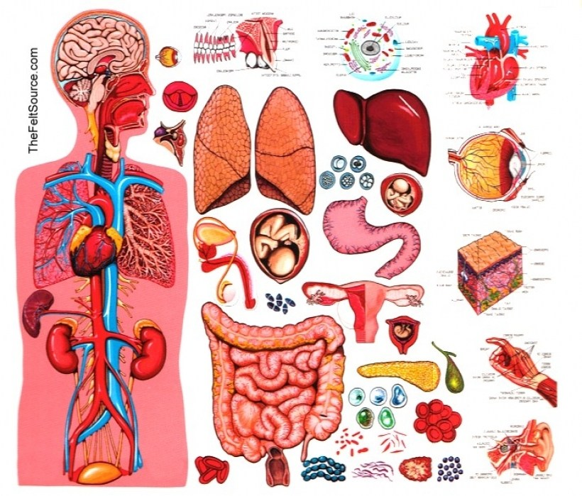 . Free human anatomy clipart