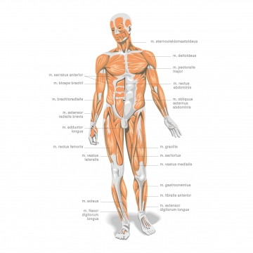 Free human anatomy clipart. Png vector psd and