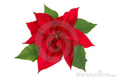 Free images of poinsettia flowers