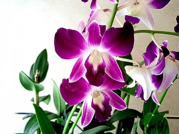 Free jpeg images of flowers picture transparent download orchid flowers images orchid flower 1 free stock photos in jpeg ... picture transparent download