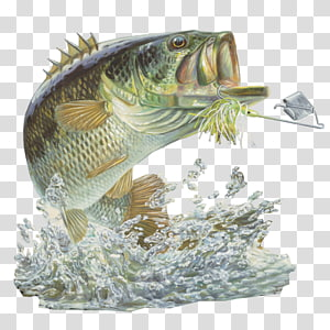 Free large mouth bass chasing a lure clipart. Green bait largemouth fish
