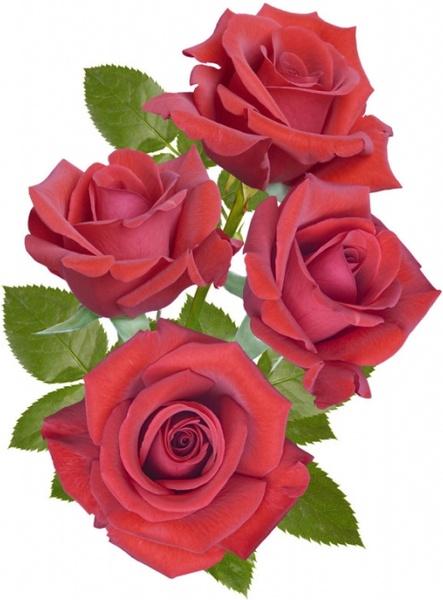 Free photos of flowers roses jpg stock Beautiful rose flowers hd free stock photos download (16,983 Free ... jpg stock