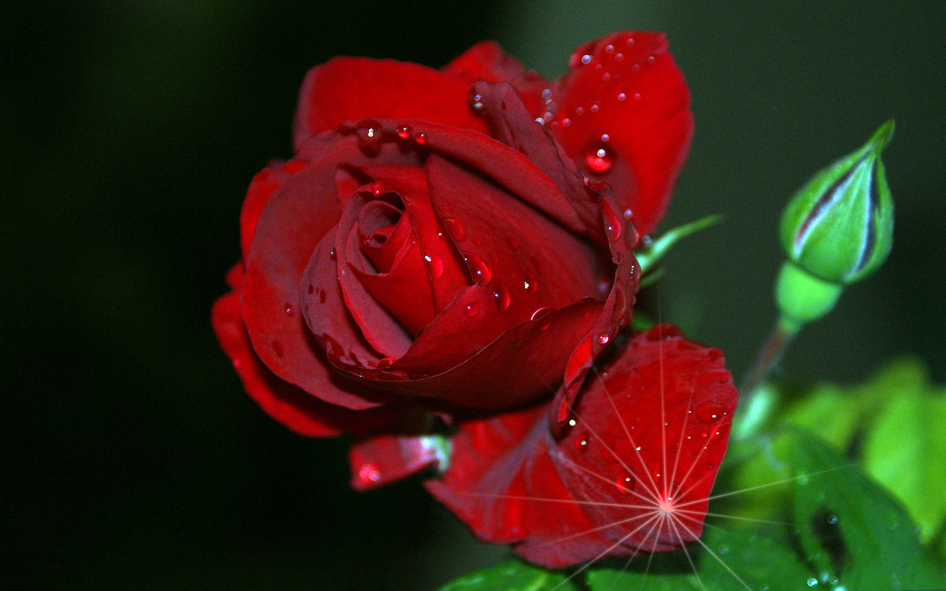 Free photos of flowers roses jpg transparent red rose hd images free download - hdwalltop.com | Flowers ... jpg transparent