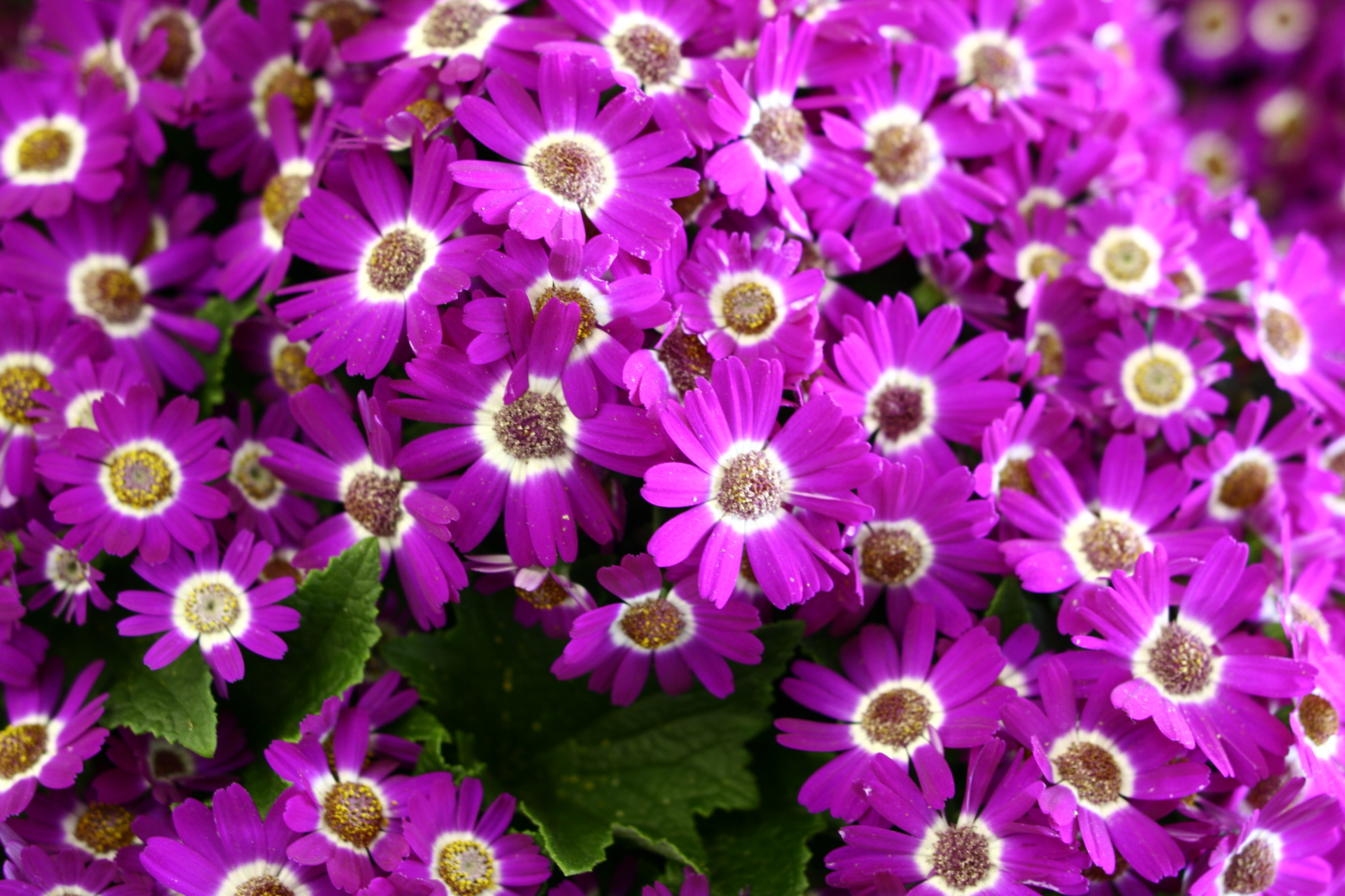 Free photos of spring flowers banner royalty free Purple Pink Spring Flowers | Flowers| Free Nature Pictures by ... banner royalty free