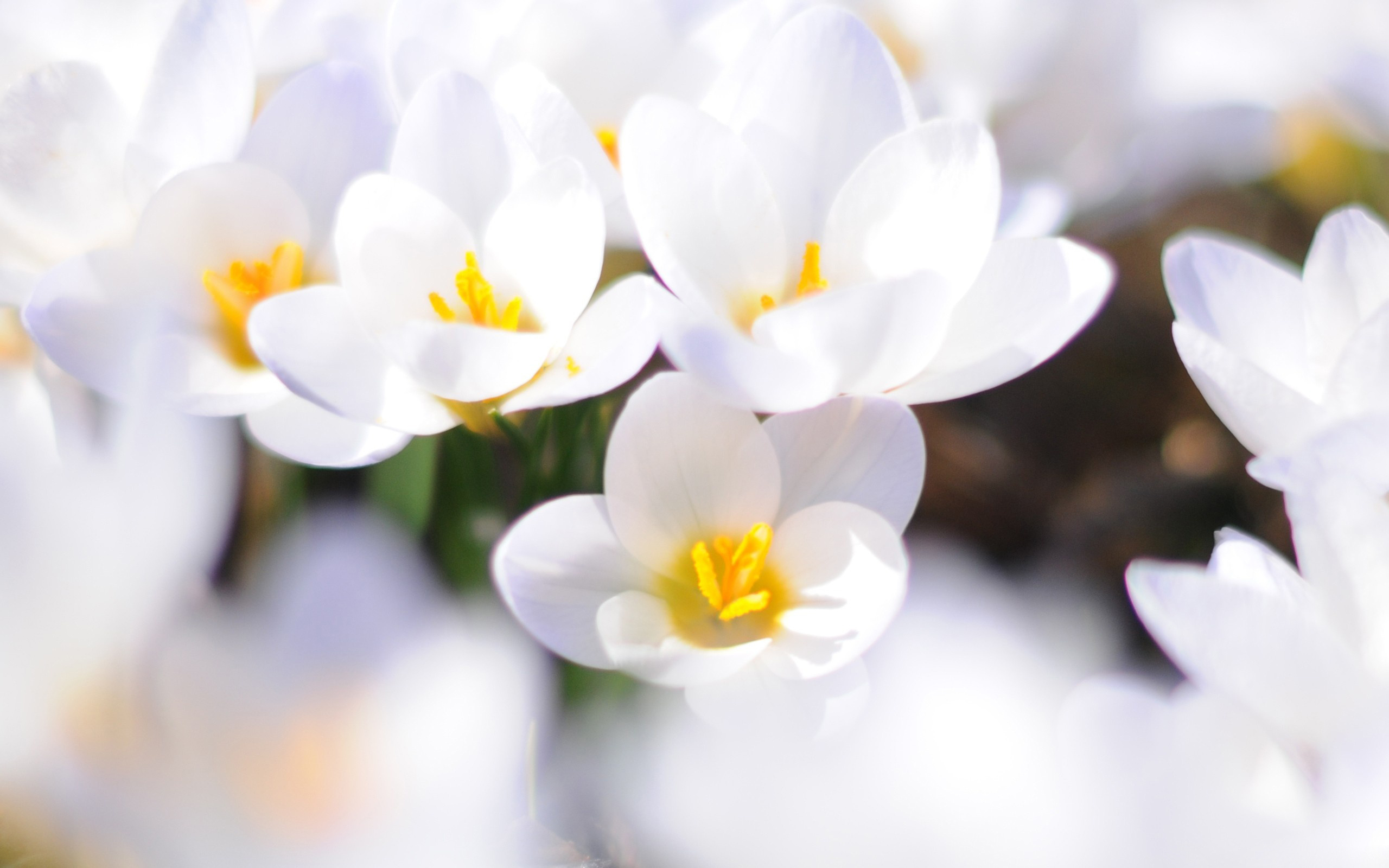 Free photos of white flowers clip art royalty free download Wallpaper's Collection: «White Flowers Wallpapers» clip art royalty free download