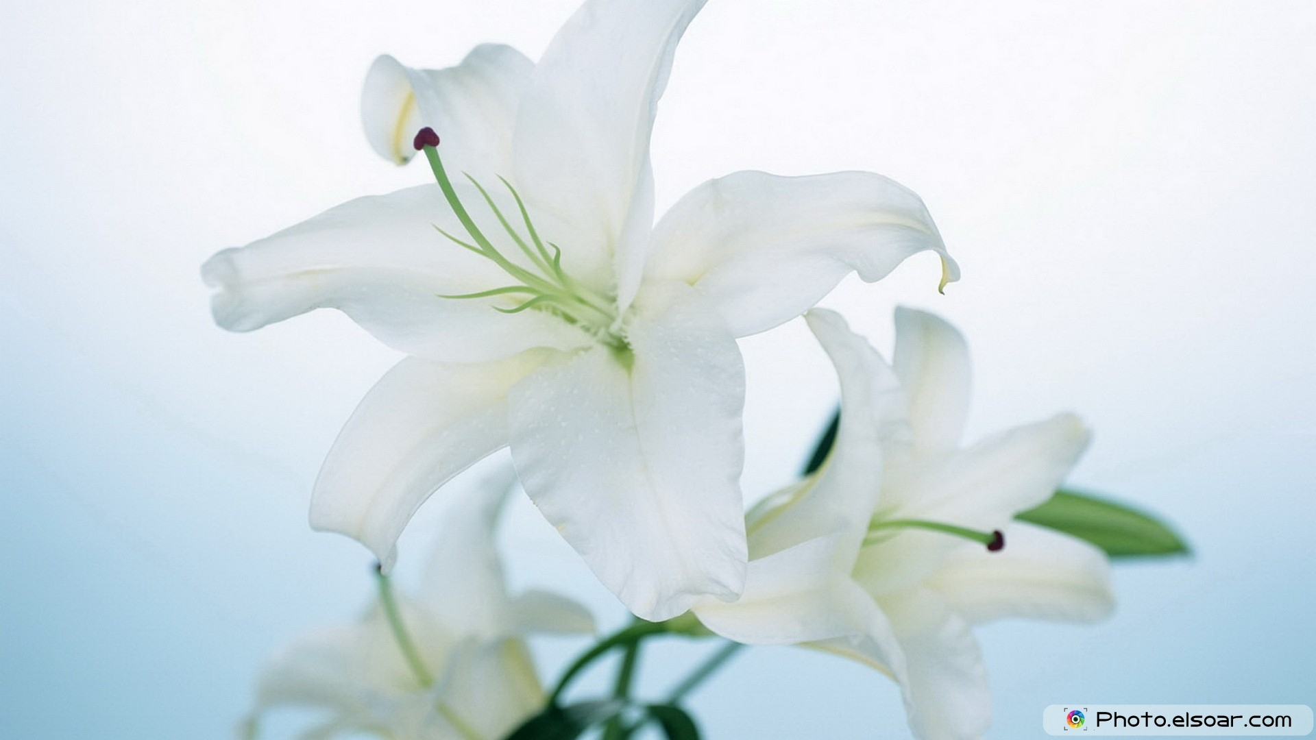 Free photos of white flowers clip freeuse library 10 Most Beautiful White Flowers Free HD Wallpapers • Elsoar clip freeuse library