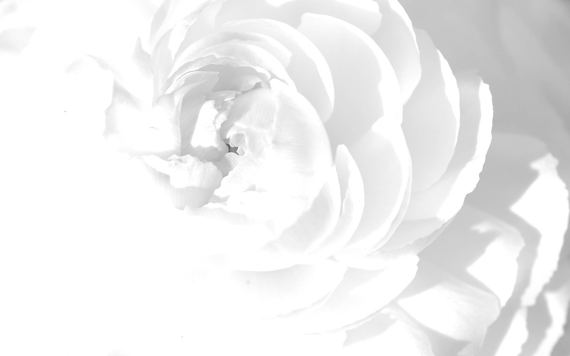 Free photos of white flowers png freeuse library White Flower Wallpaper png freeuse library