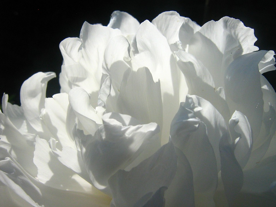 Free photos of white flowers vector royalty free download White, Flowers - Free images on Pixabay vector royalty free download
