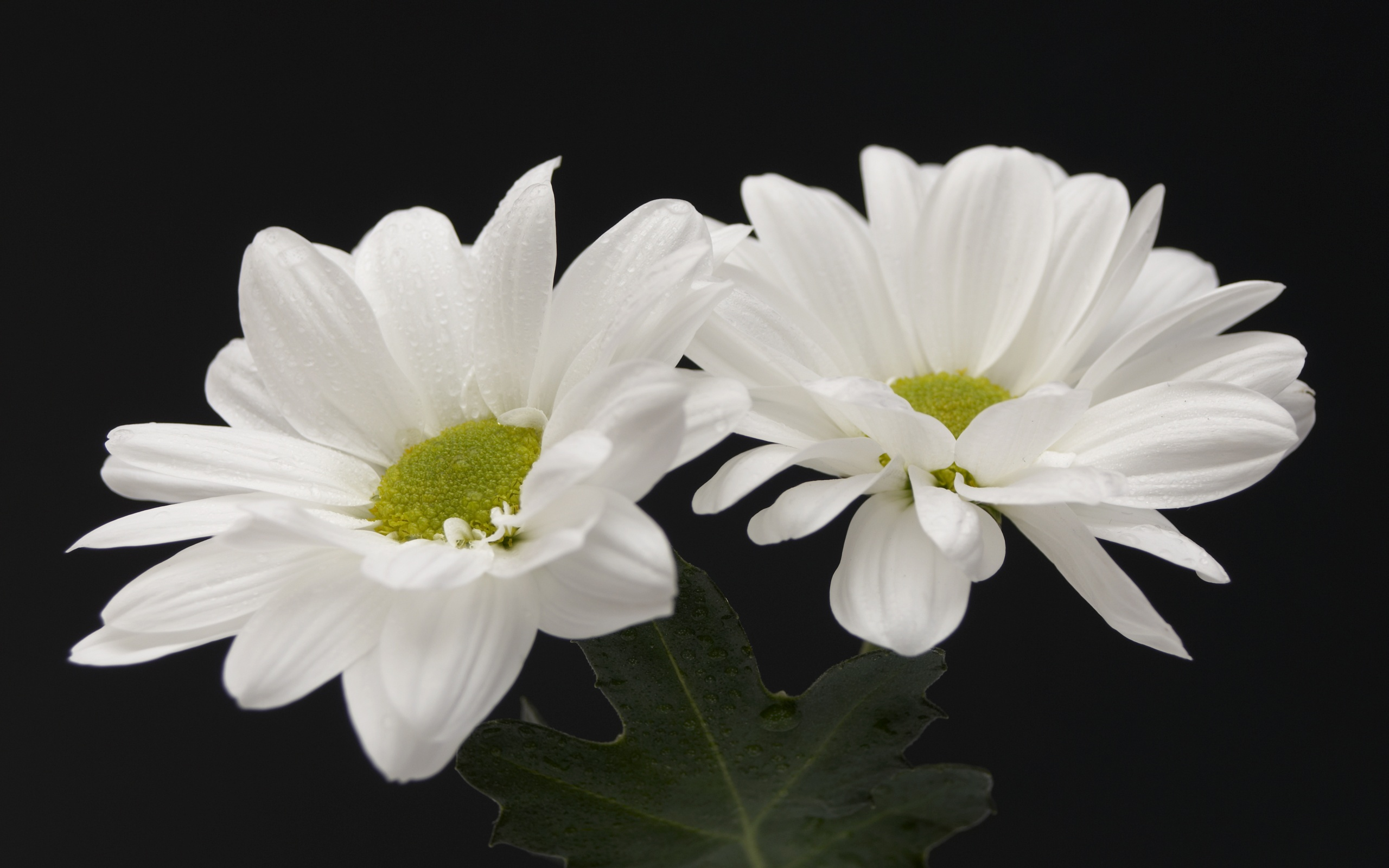 Free photos of white flowers png royalty free library HD Flower Wallpaper Free: White Flowers Wallpaper png royalty free library