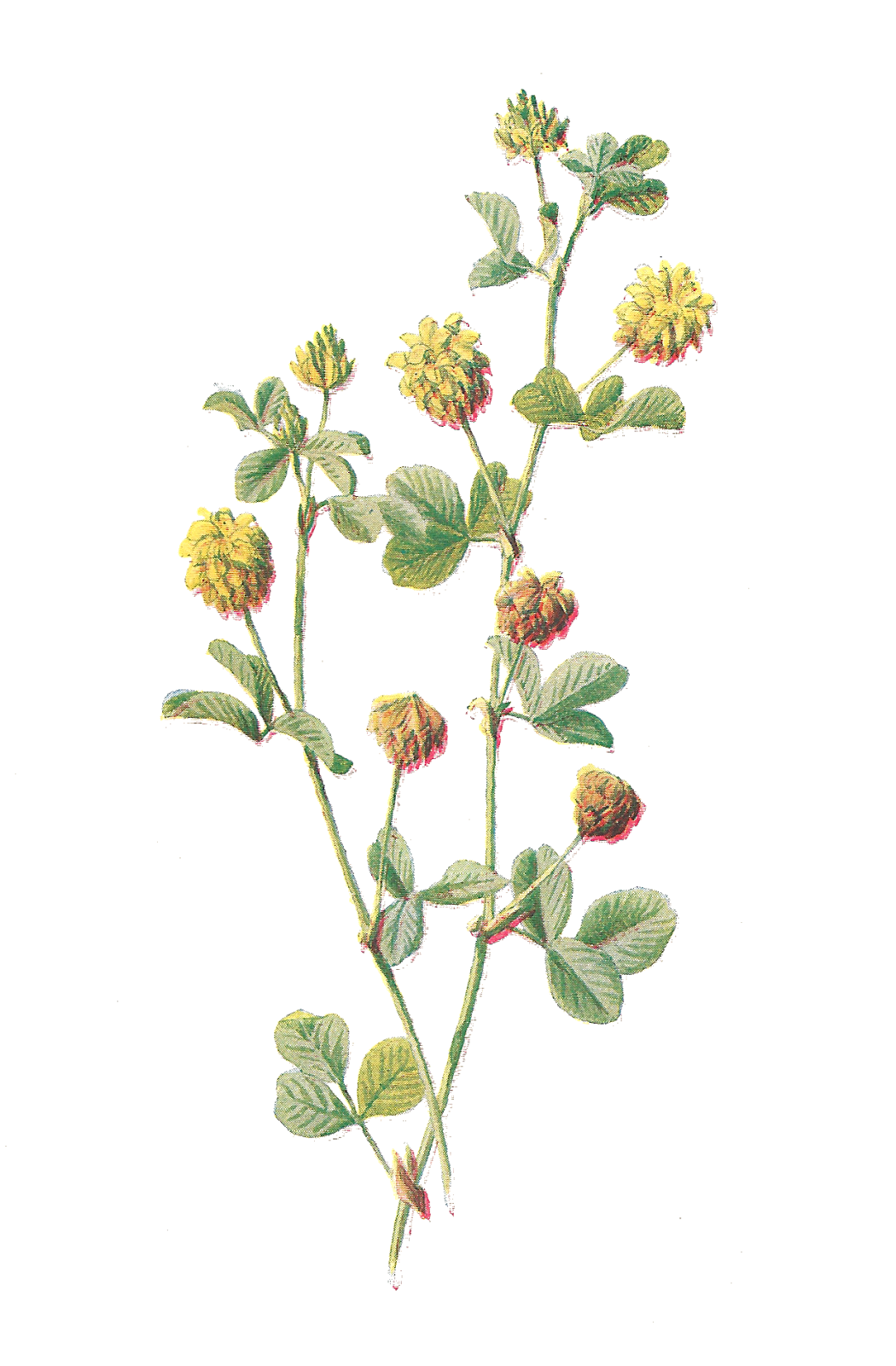 Free pictures flowers banner freeuse Antique Images: Free Flower Graphic: Wildflower Clip Art Hop Trefoil ... banner freeuse