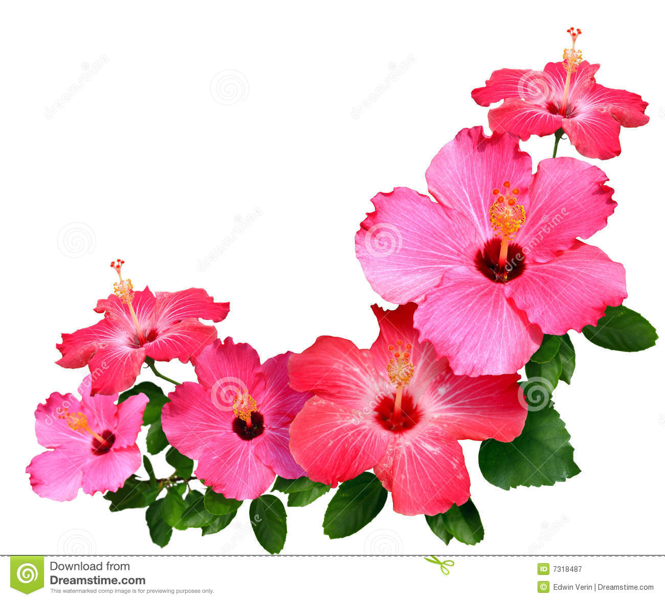 Free pictures of hibiscus flowers graphic freeuse Hibiscus Stock Photos, Images, & Pictures - 24,470 Images graphic freeuse