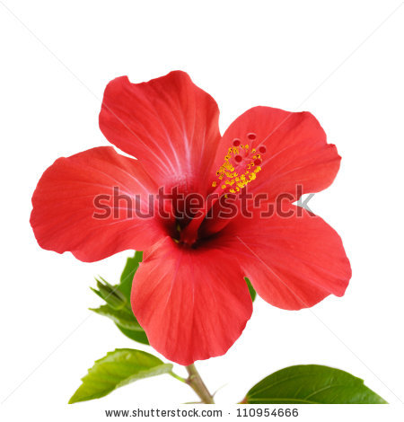 Free pictures of hibiscus flowers vector freeuse stock Hibiscus Flower Stock Images, Royalty-Free Images & Vectors ... vector freeuse stock