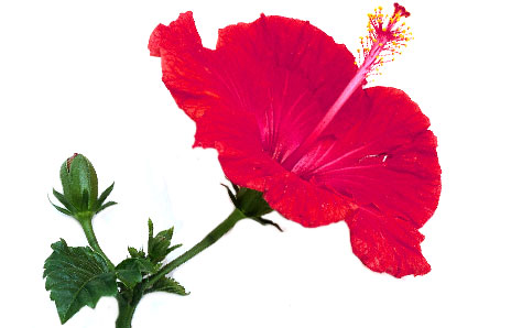 Free pictures of hibiscus flowers jpg free download Hibiscus clipart free - ClipartFest jpg free download