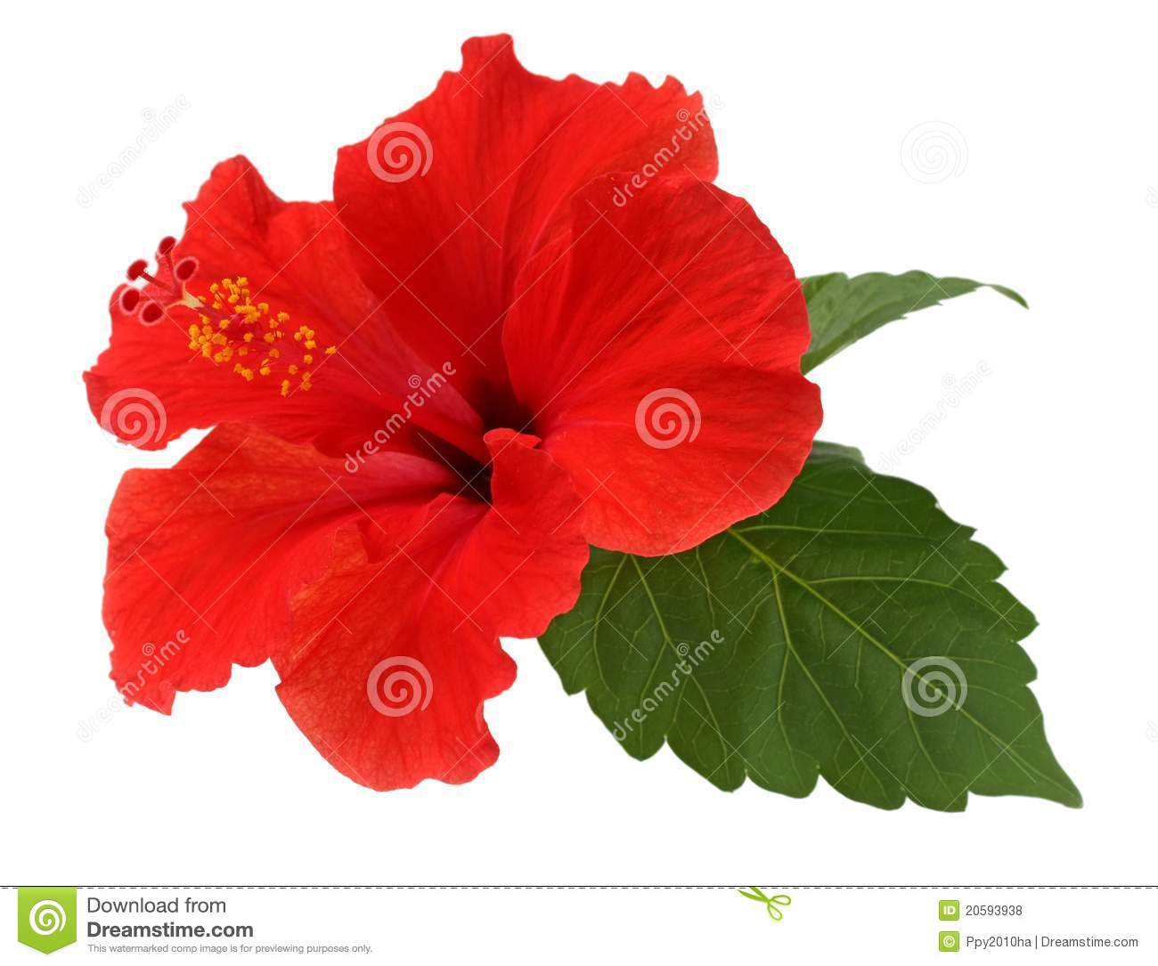 Free pictures of hibiscus flowers graphic black and white download Hibiscus Flower Stock Photos, Images, & Pictures - 20,541 Images graphic black and white download