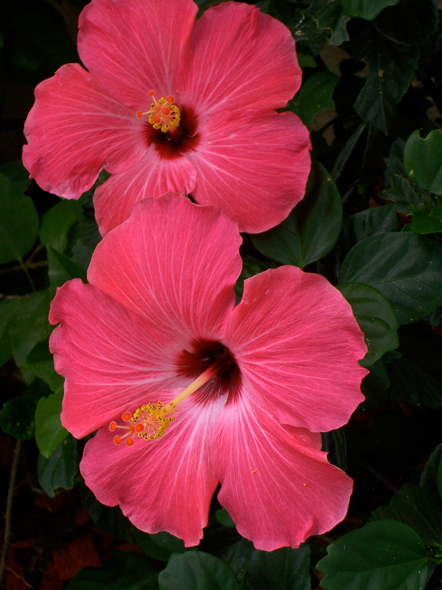 Free pictures of hibiscus flowers banner Pink Hibiscus Flowers Free Stock Photo - Public Domain Pictures banner