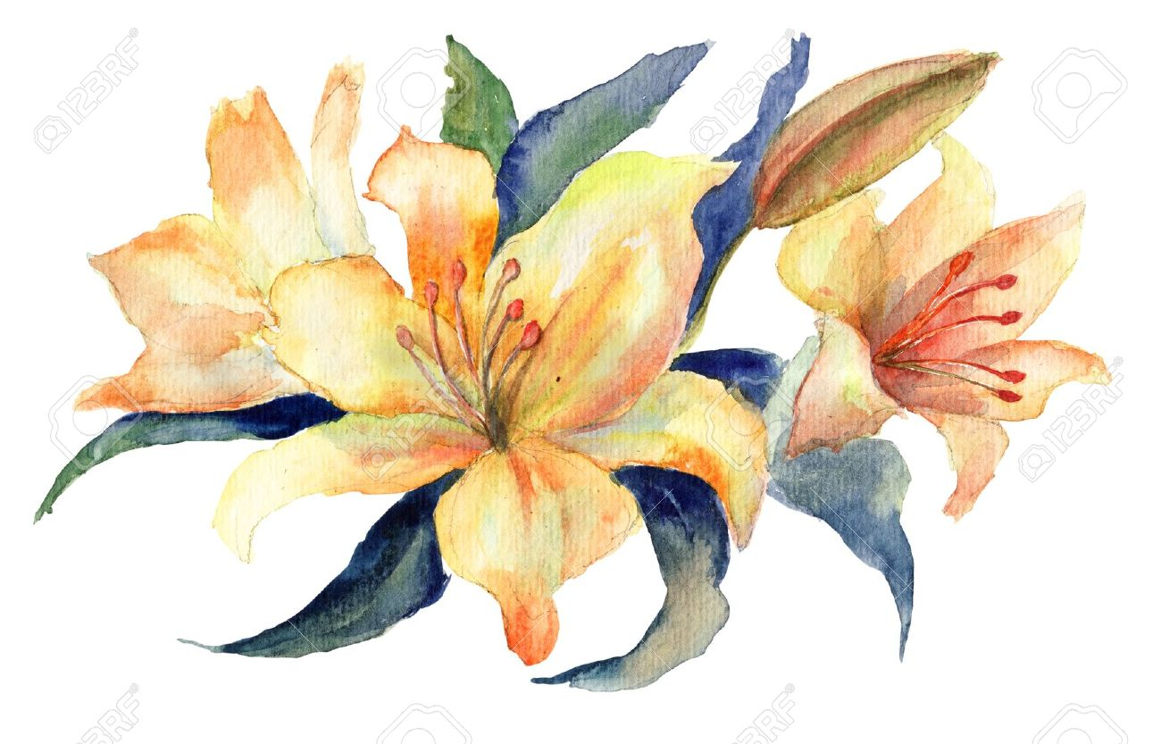 Free pictures of lily flowers jpg royalty free Three Yellow Lily Flowers, Watercolor Illustration Stock Photo ... jpg royalty free