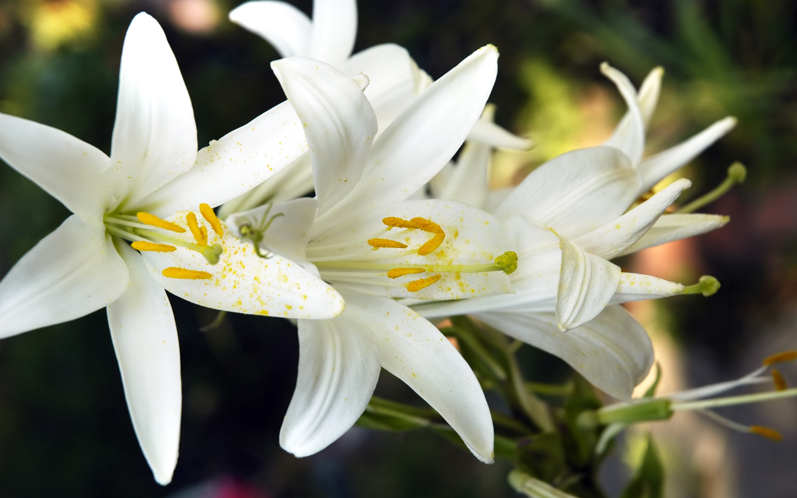 Free pictures of lily flowers banner transparent Free Lily Flower Wallpaper #6793033 banner transparent