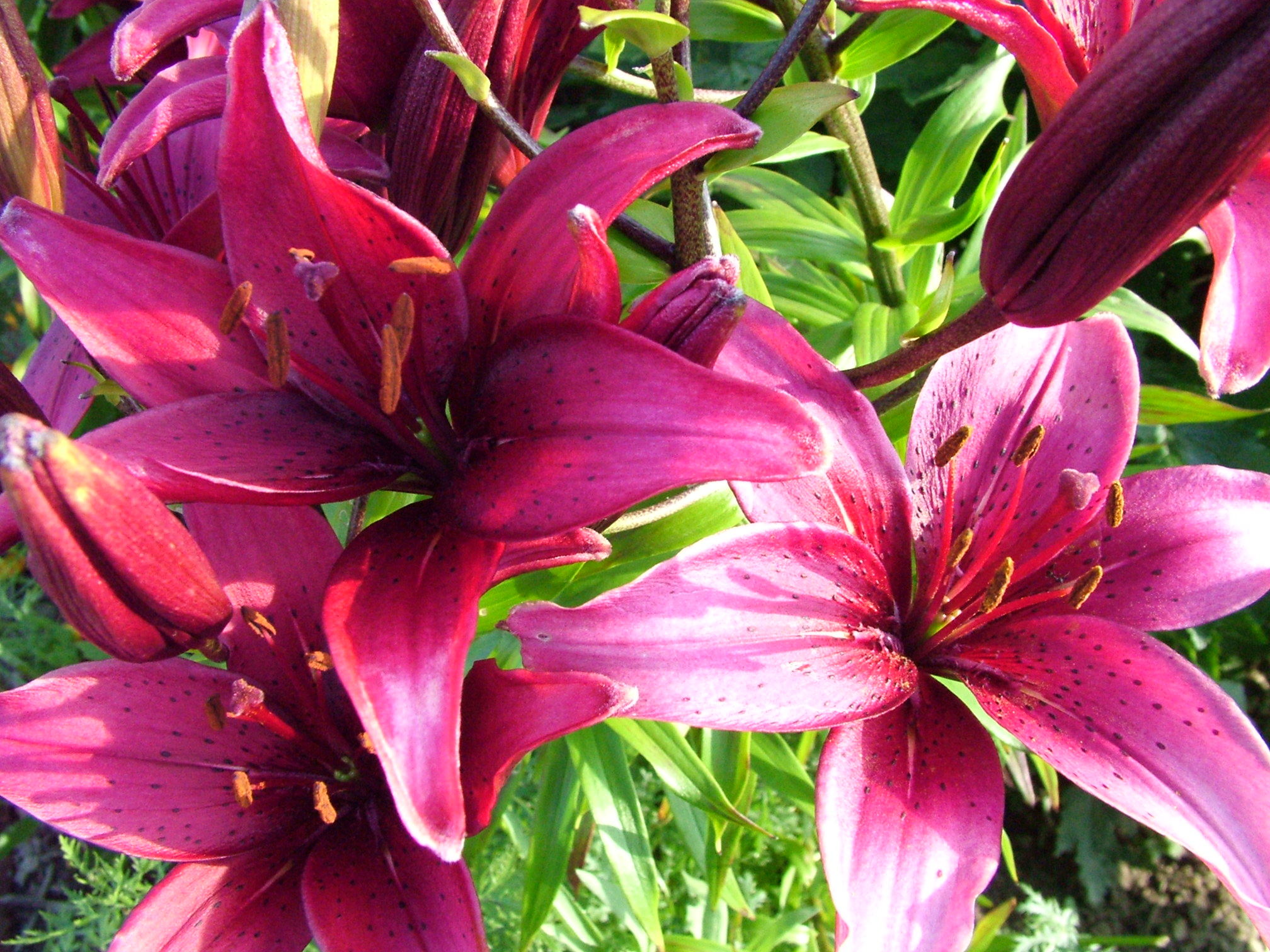 Free pictures of lily flowers jpg black and white download Lily flower pictures free - ClipartFest jpg black and white download