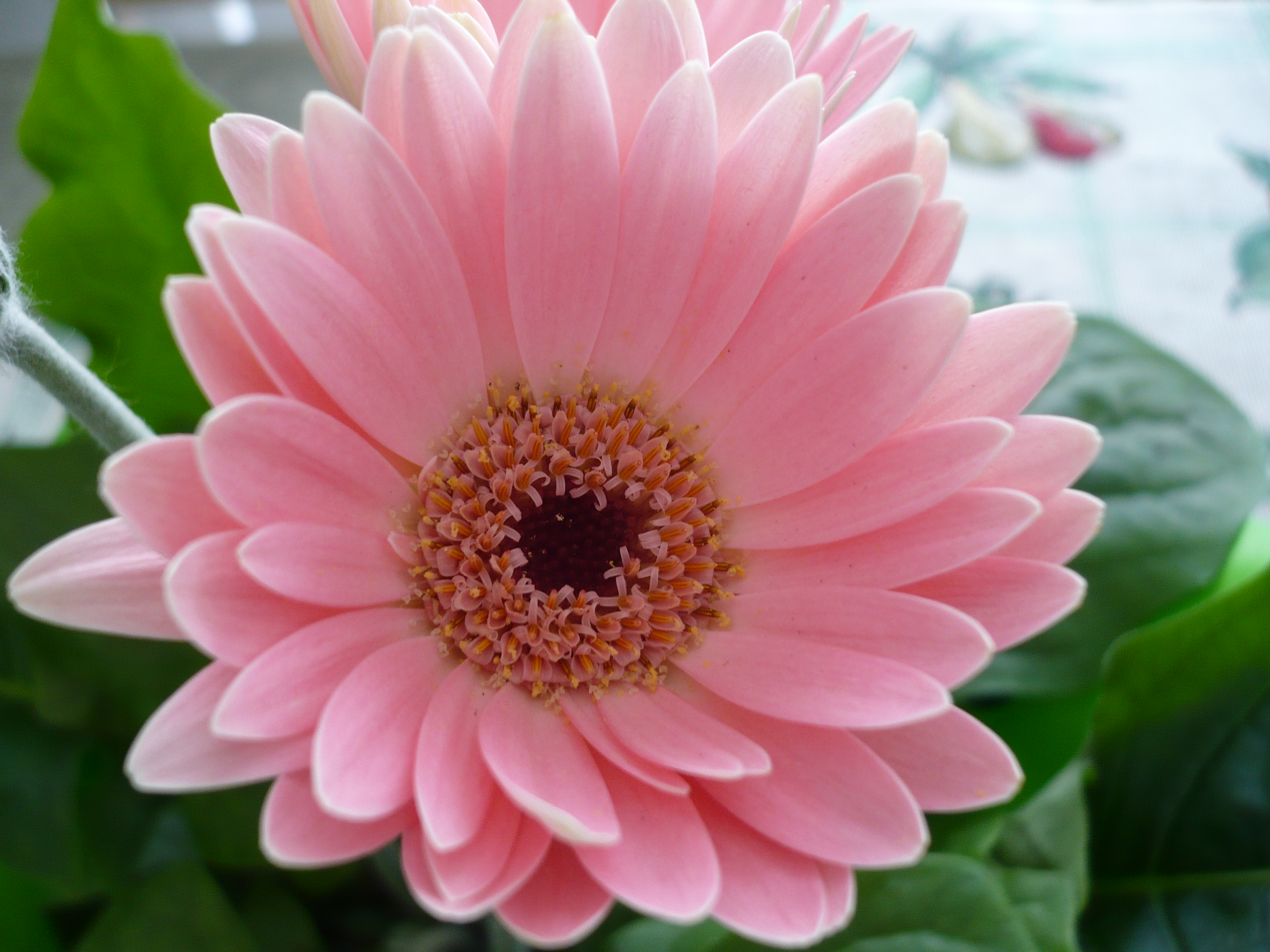 Free pictures of pink flowers png royalty free 17 Best images about Flowers on Pinterest | Pink daisy, Cherry ... png royalty free
