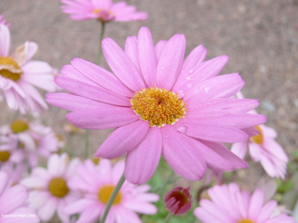Free pictures of pink flowers clip transparent library Pink flowers with bees hd picture Free stock photos in Image ... clip transparent library