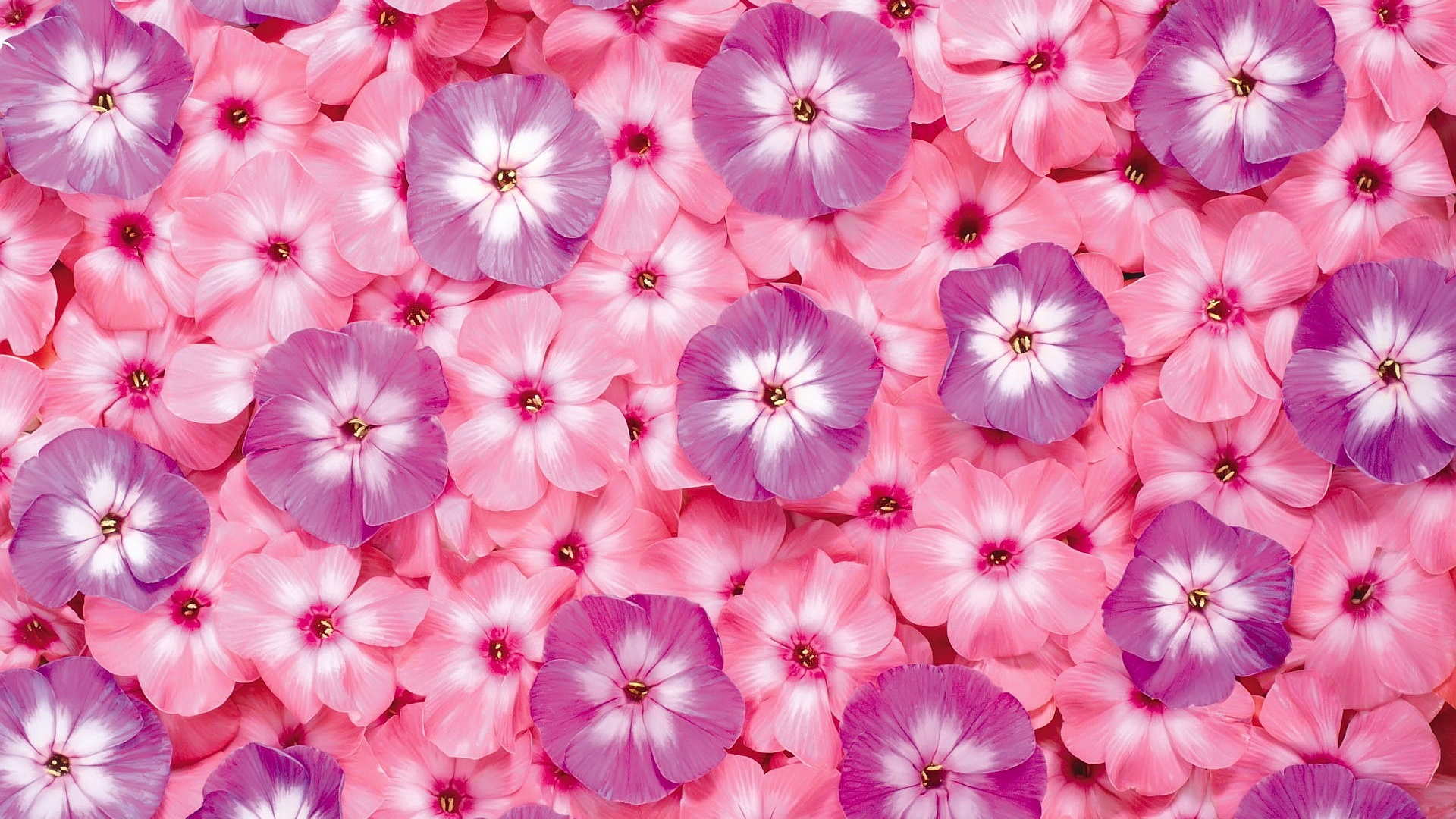 Free pictures of pink flowers picture stock HD Pink Flowers Wallpapers | Download Free - 870312 picture stock