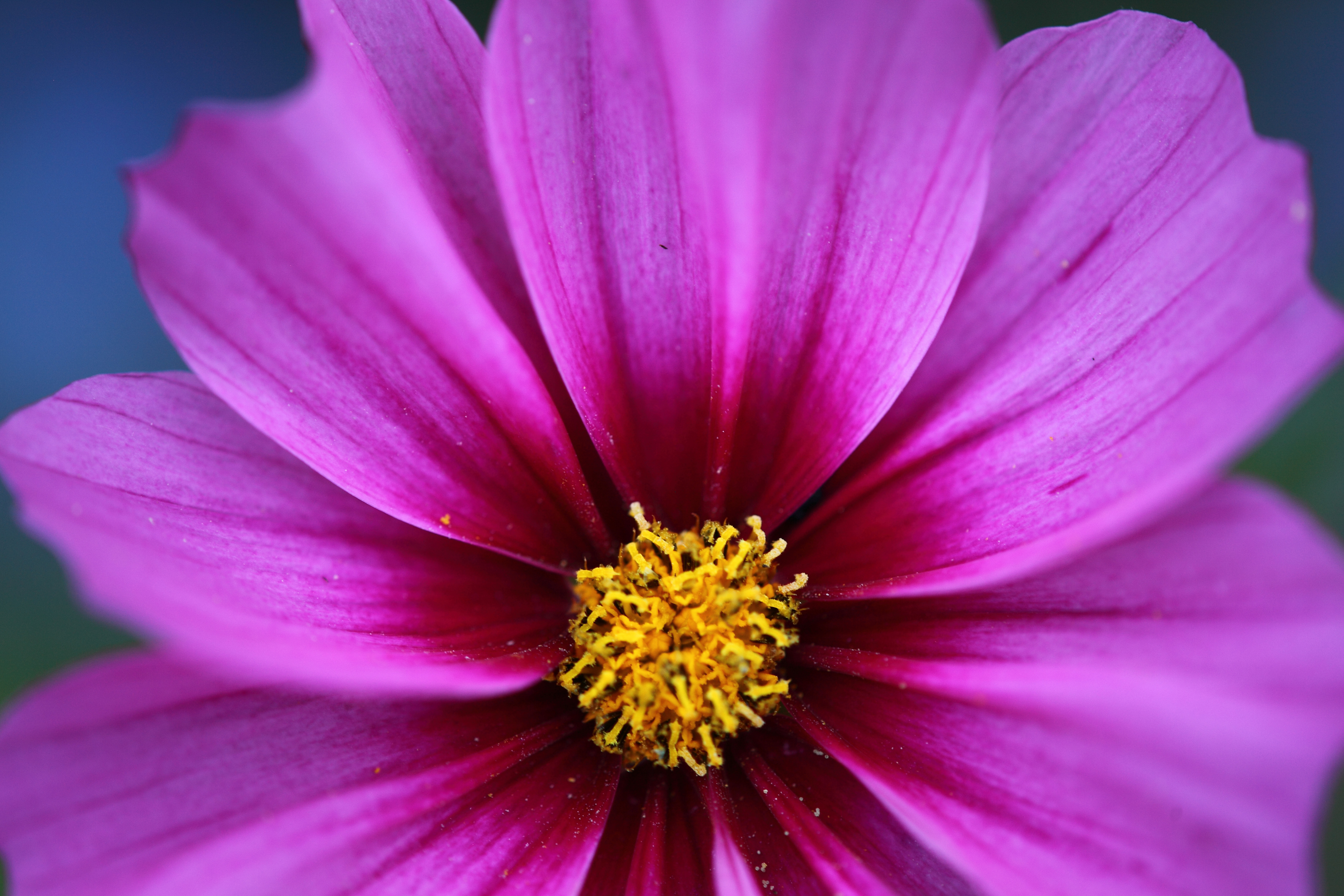 Free pictures of pink flowers svg Pink Flower Golden Crown Macro | Flowers| Free Nature Pictures by ... svg