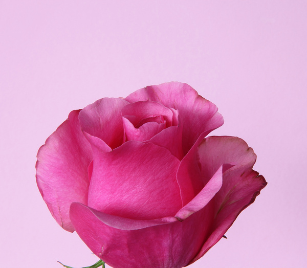 Free pictures of pink flowers vector royalty free stock Pink rose flowers images free stock photos download (12,421 Free ... vector royalty free stock