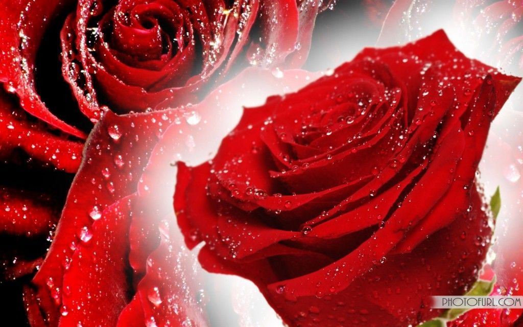 Free pictures of red flowers picture free stock Free rose flower image - ClipartFest picture free stock