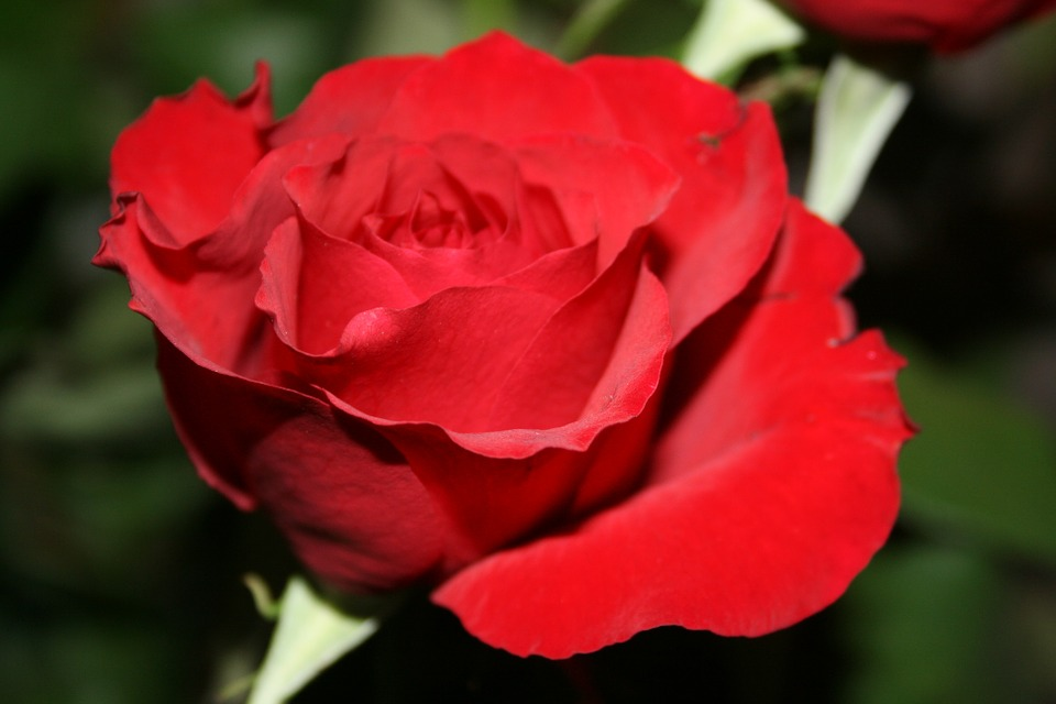 Free pictures of red flowers png library Free photo: Red Flowers, Floating, Water, Red - Free Image on ... png library
