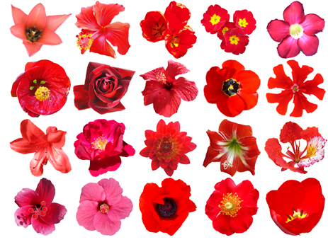 Free pictures of red flowers graphic free Free HQ PSD Red Flowers Vector Pack graphic free