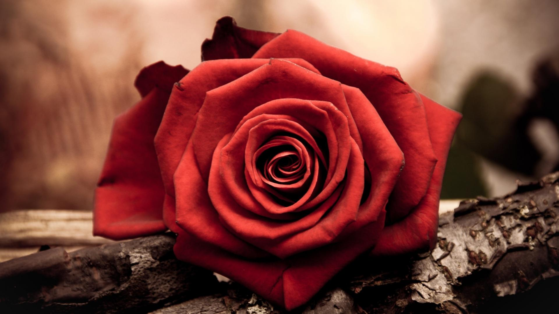 Free pictures of red flowers image freeuse stock Awesome Free Red Flowers HD Wallpaper Free Download image freeuse stock
