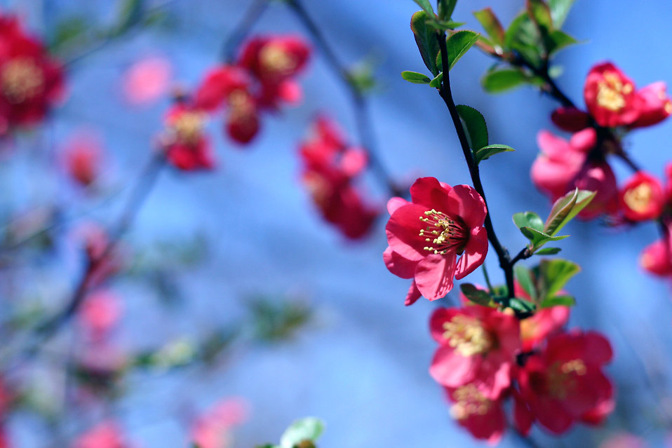 Free pictures of red flowers picture black and white download Flowers Pink | Free Stock Photo | Red flowers on a tree branch ... picture black and white download