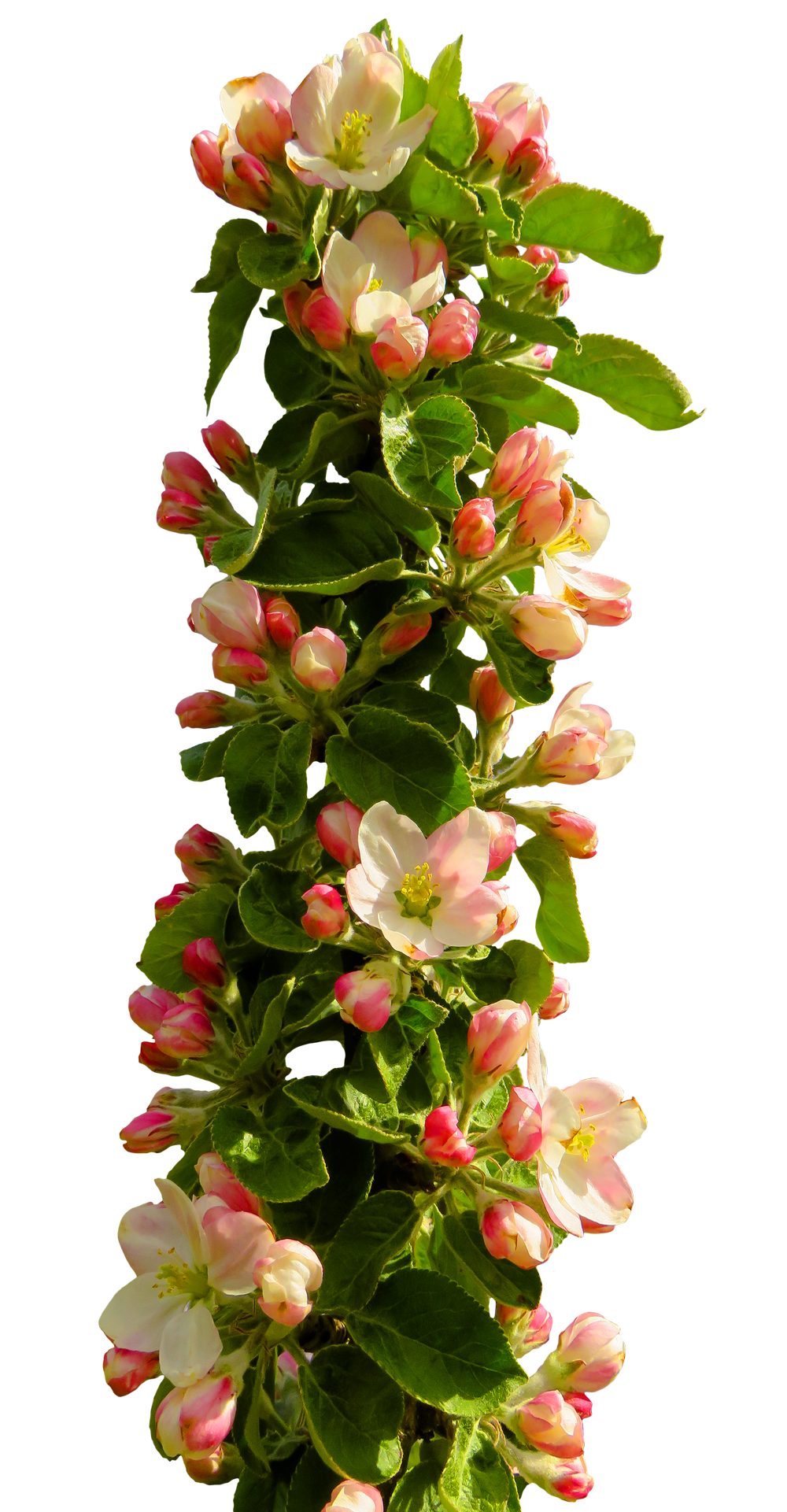 Free pictures of spring flowers image Spring Flower PNG Image - PurePNG | Free transparent CC0 PNG Image ... image