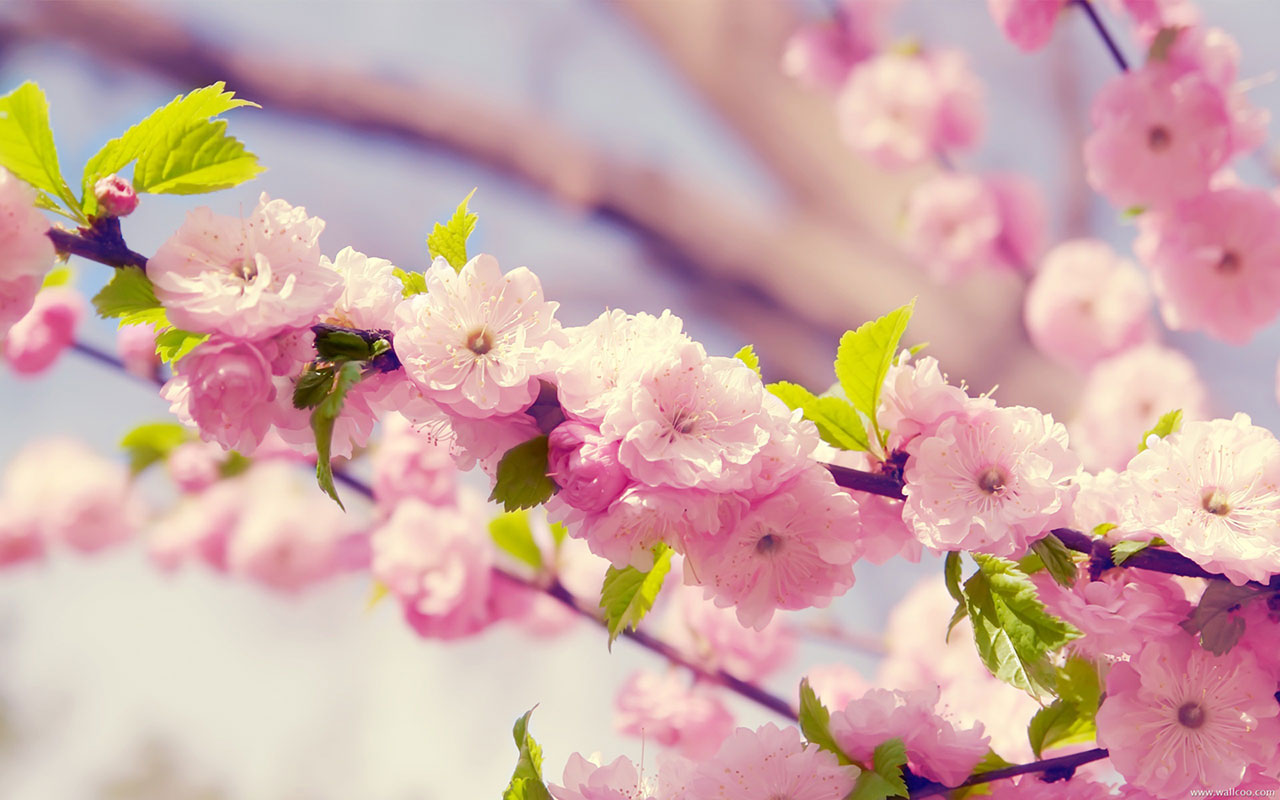 Free pictures of spring flowers png stock Spring Flowers Wallpapers (28+) png stock