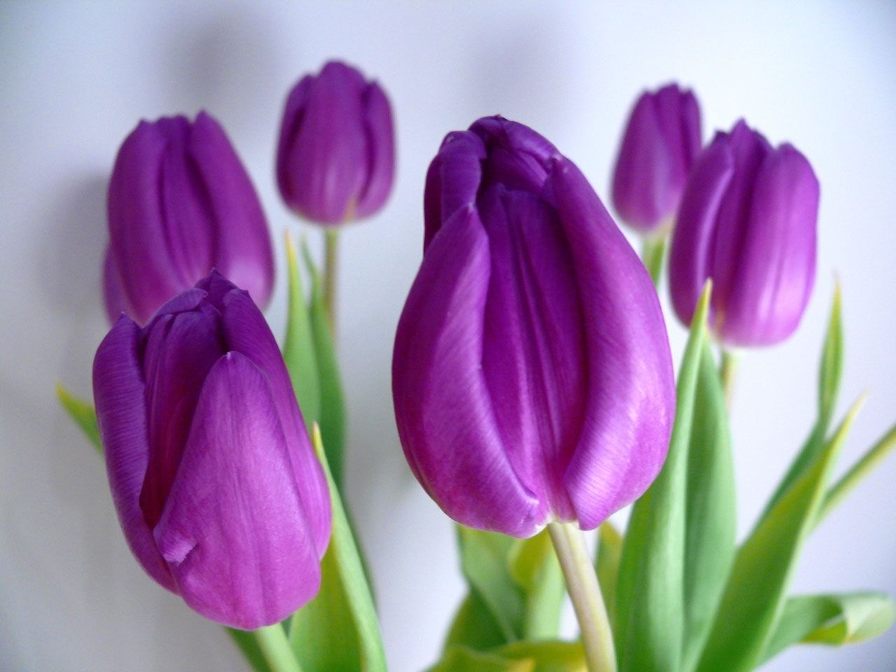 Free pictures of tulips flowers png transparent download Tulip pics free - ClipartFest png transparent download