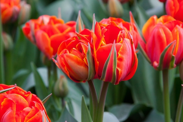 Free pictures of tulips flowers clip art royalty free Red tulips flower images free stock photos download (15,655 Free ... clip art royalty free