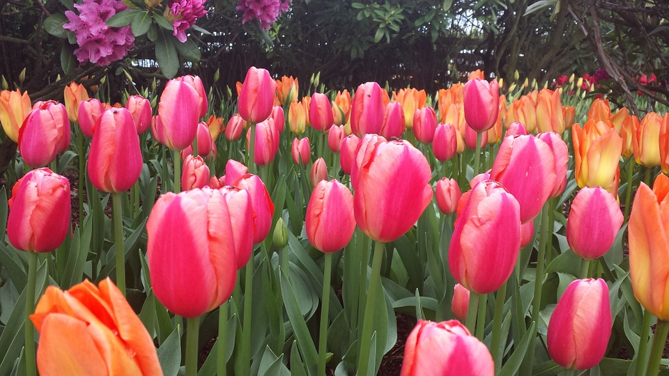 Free pictures of tulips flowers picture black and white library Free photo: Tulip, Tulips, Flower, Orange, Red - Free Image on ... picture black and white library