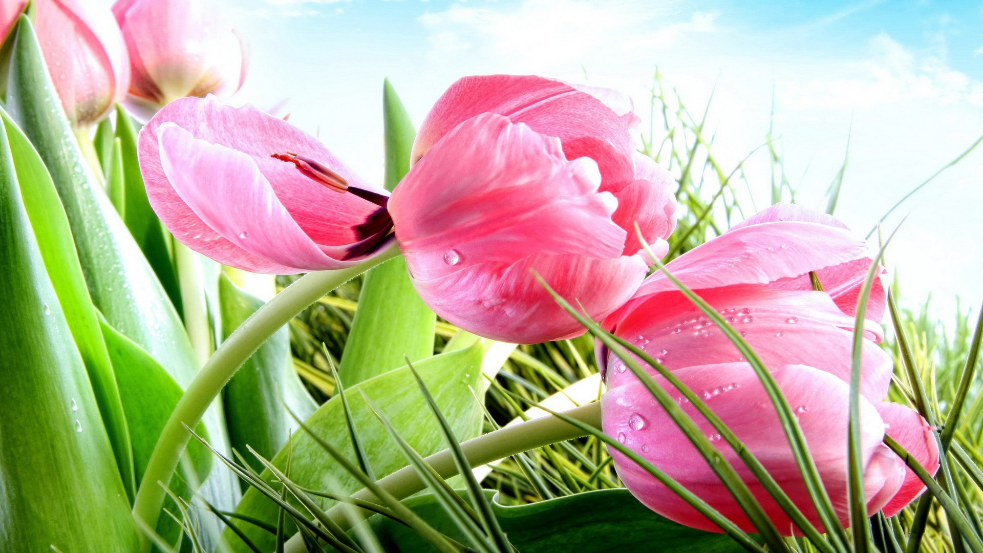 Free pictures of tulips flowers graphic free stock Tulip Flowers HD Wallpapers free download graphic free stock