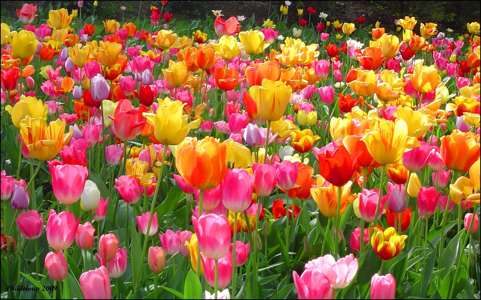 Free pictures of tulips flowers graphic library Tulip Wallpapers - Wallpaper Cave graphic library