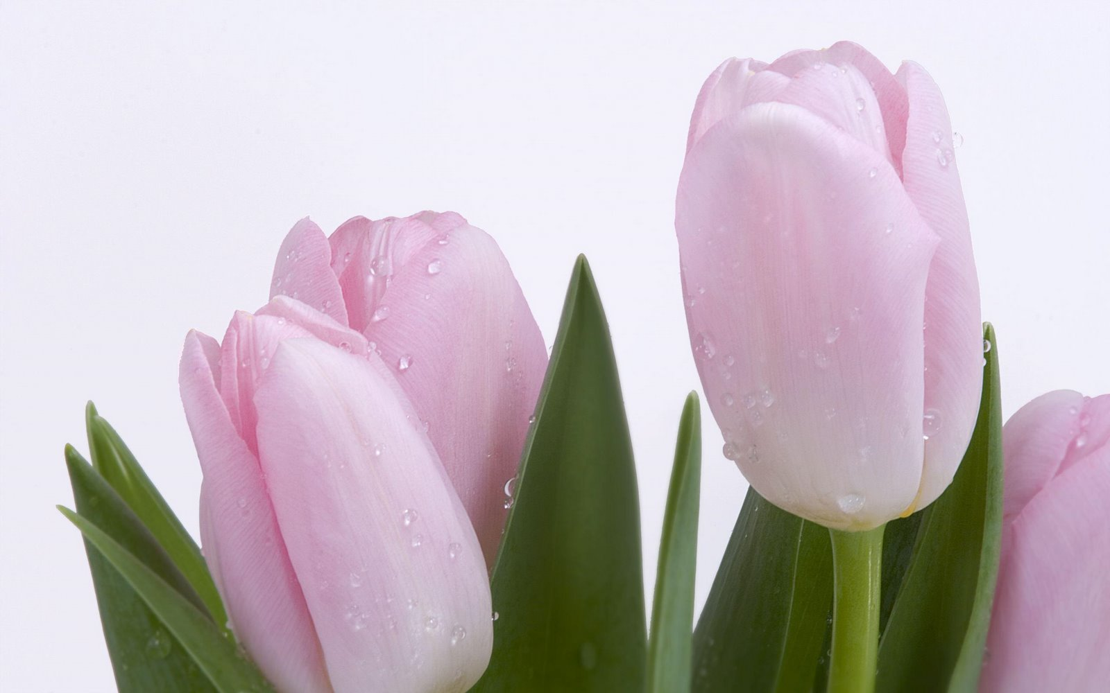 Free pictures of tulips flowers image freeuse stock 24 Tulip Flower Images Pictures image freeuse stock