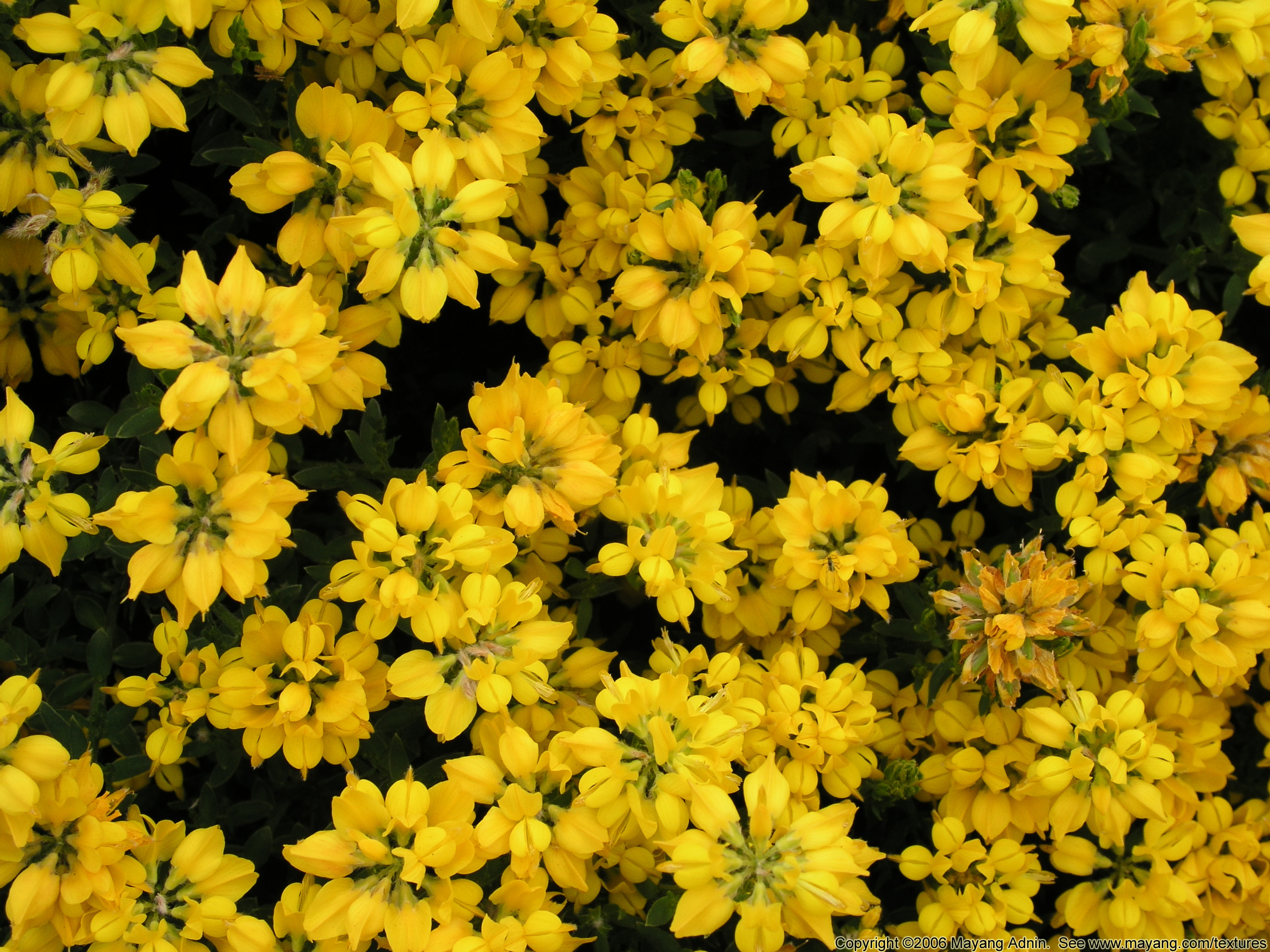 Free pictures of yellow flowers banner royalty free download Flowers Free Textures banner royalty free download